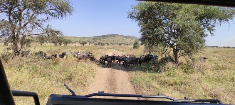 Období migrace, NP Serengeti.