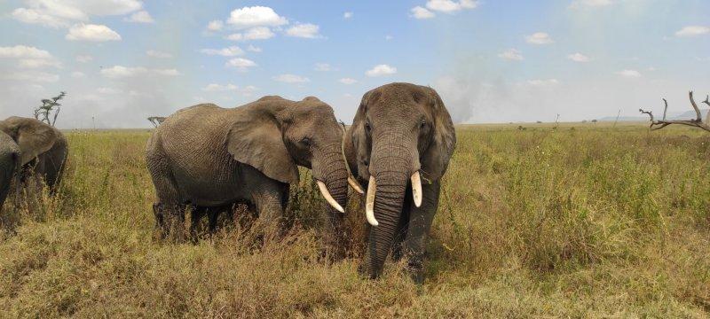 Serengeti, stádo slonů